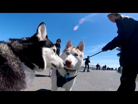 Siberian Husky Tip: Always Ask Permission Before Approach Other Dog.