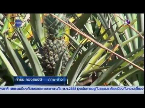 เกษตรทำเงิน : ปีทองของผู้ปลูกสับปะรดหนองคาย