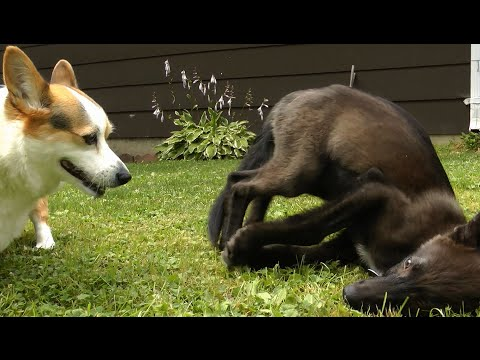 Adorably Confused Corgi Meets A Wolf Pup ~ Spinning ~