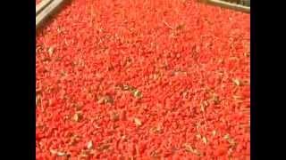 Как получают сушеные ягоды годжи