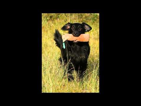 Прямошерстный   Ретривер/Flat-Coated Retriever (порода собак HD slide show)!