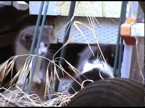 Feral mama cat introduces her kittens to solid food for the first time