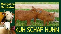"""KUH SCHAF HUHN Folge 8: Mangalitza-Schweine bzw. """"Ungarische Wollschweine"""", Mangalica pig"""