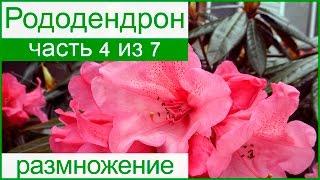 💮 Размножение рододендрона делением и черенкованием, семенами и отводками