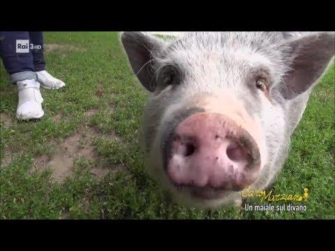 Un maiale sul divano caro marziano 13 06 2017 youtube - Maiale sul divano ...