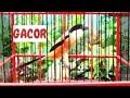 Suara Burung Cendet Gacor Full Isian Untuk Masteran Burung Cendet  Mp3 - Mp4 Download