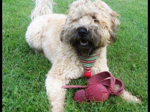Rufus Wheaten terrier.