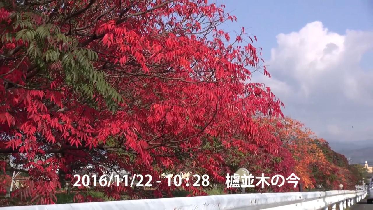 うきはかいねっと 道の駅より櫨並木の紅葉の今を紹介。 2016/11