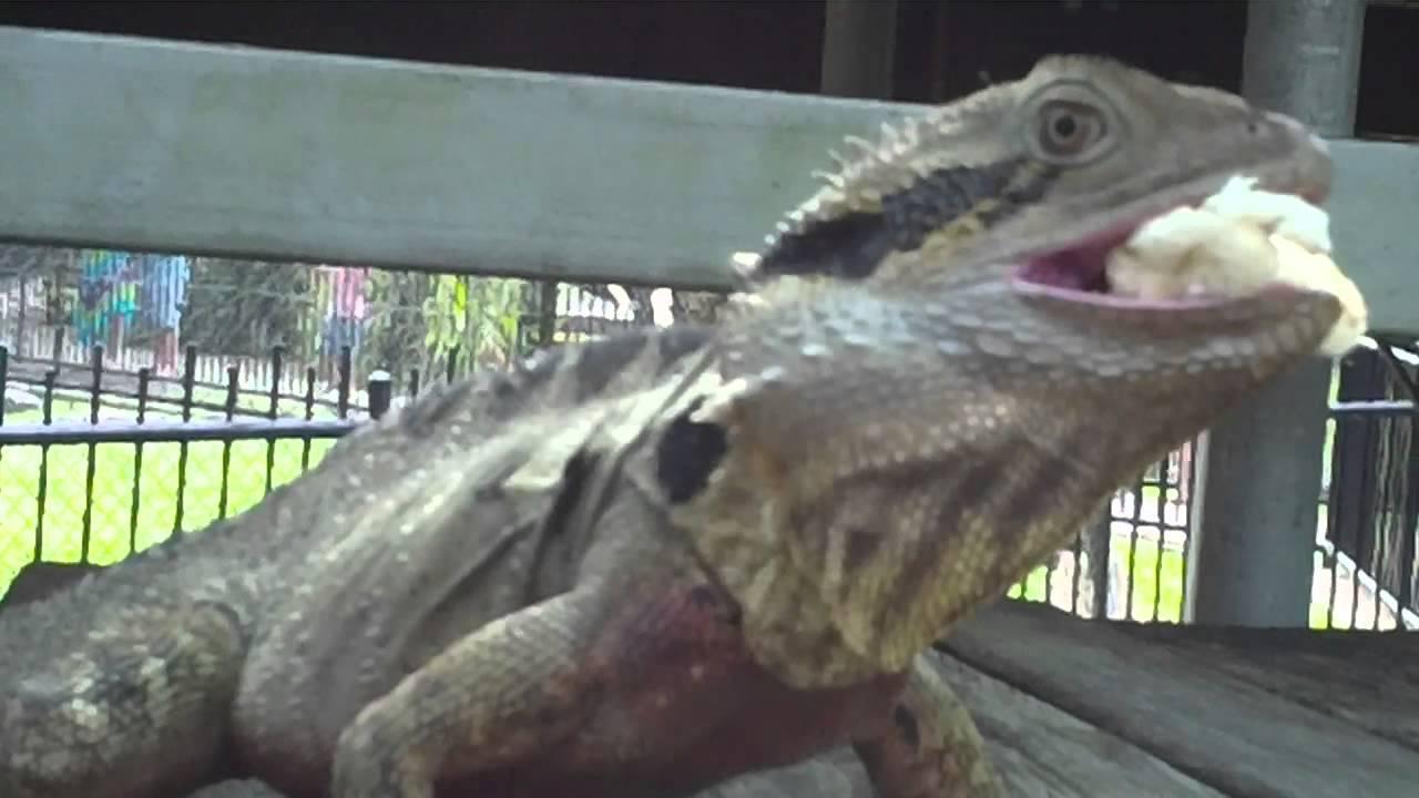 Australian Water Dragon Lizard: Australian Water Dragon Lizard