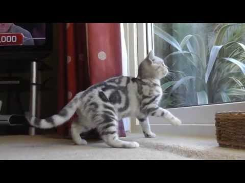 Bumble the Silver Tabby Kitten - Stunning looking animal