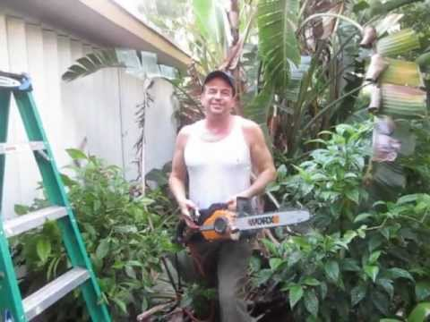 How To Prune A Bird Of Paradise Strelitzia Nicolai