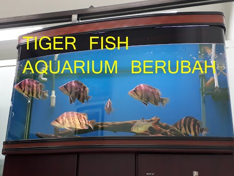 Bongkar Aquarium Tiger Fish Datnoids