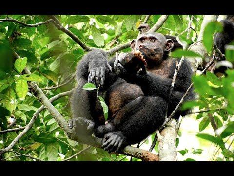 Chimpanzees feast on tortoises by smashing their shells