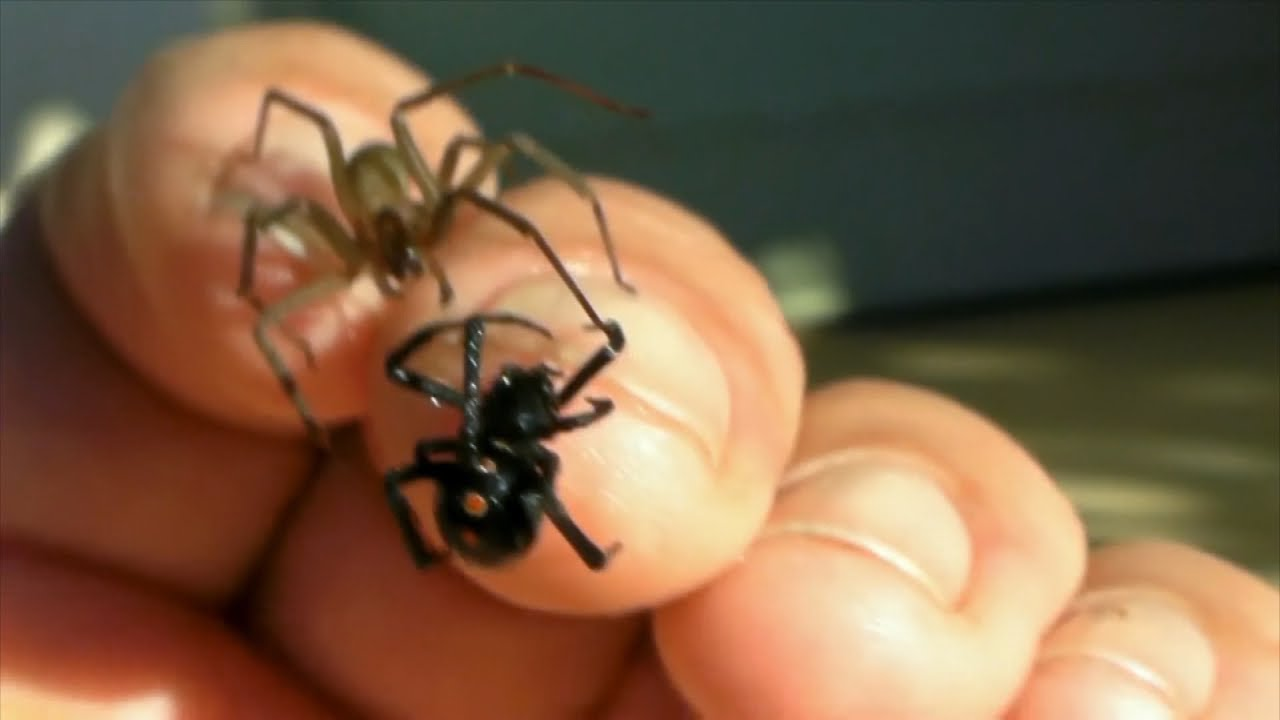 Arach No Phobia Brown Recluse And Black Widow