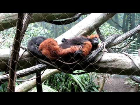 Red Ruffed Lemur (Prosimians) Relaxing Bronx Zoo