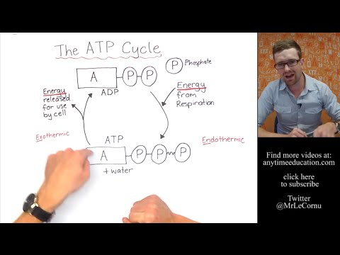 What Is The Atp Cycle Youtube