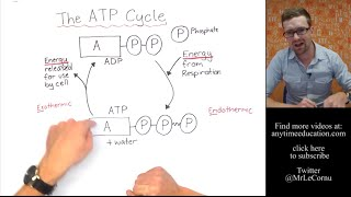 What is The ATP Cycle?