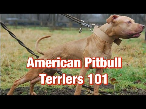 American Pitbull Terriers 101