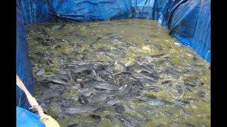 Budidaya Ikan Lele Modal 1,5 Juta, Omzet Pria ini Ratusan Juta