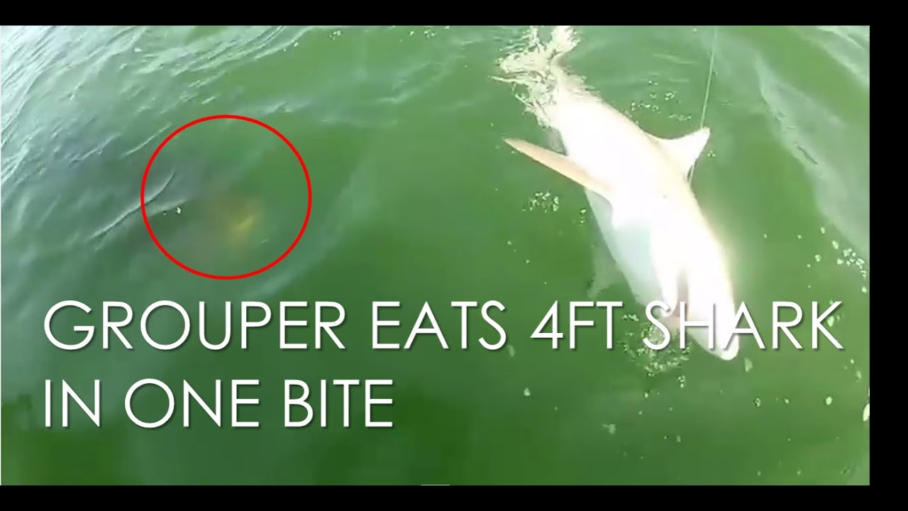 Goliath Grouper Eats Shark Grouper eats a shark i...