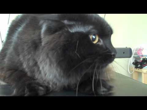 Funny cat crying and hissing (REALLY FUNNY)
