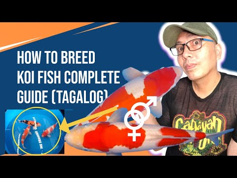 How to breed koi fish (tagalog) Step x Step Complete Guide