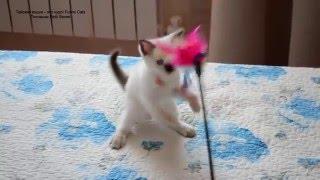 Улётное видео! Как растёт котёнок шоу класса! Тайские кошки - это чудо! Funny Cats