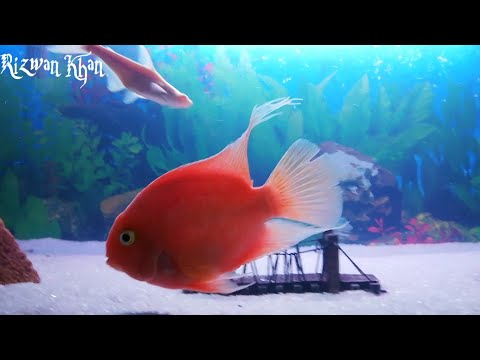 Facts And Care Guide Of Blood Parrot Fish.(Urdu/Hindi)