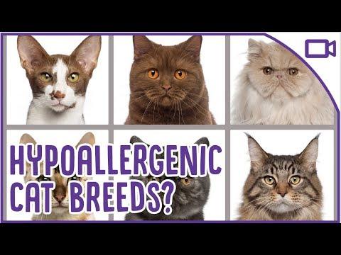 TOP Hypoallergenic Cat Breeds - Allergy Friendly Cats!