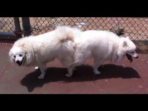 Dogs mating - Japanese Spitz - YouTube