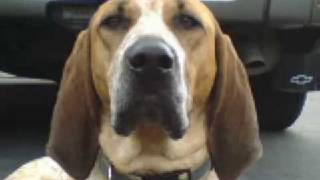 Coonhound , English Redtick- Gunnar