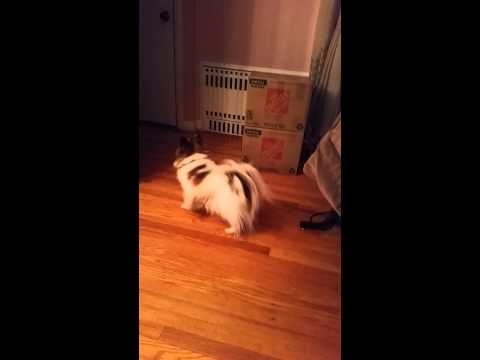 Our Papillon Dog Loosing Grip On The Floor Barking, Hopping - Hysterical