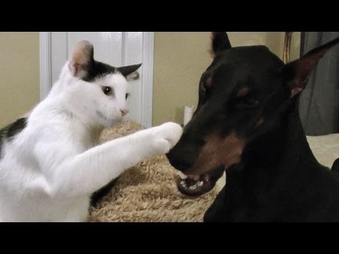 Pancake the kitten loves his Doberman