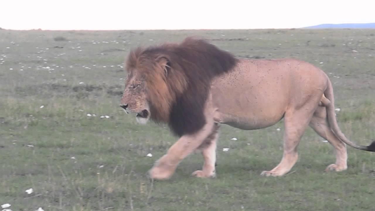 male lion walking youtube