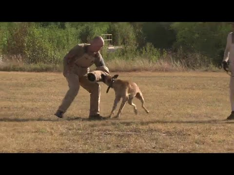 behind-the-scenes-of-military-working-dogs-program-at-jbsa-lackland