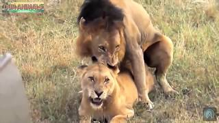 Lions mate about 300 Times a day
