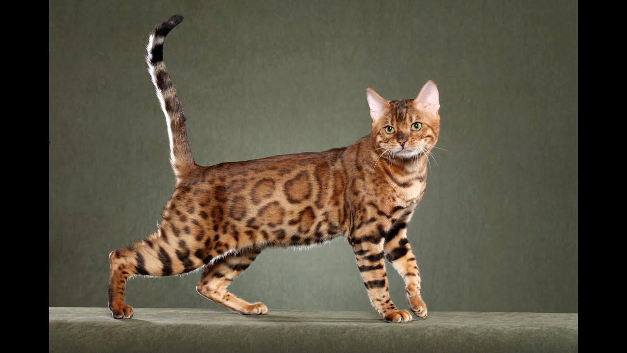 Bengal Cats~ Bengal Cats Australia - YouTube