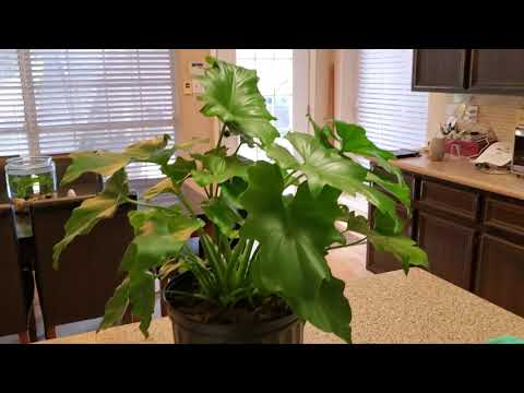 MY NEW HOPE PHILODENDRON PLANT | DONNA JOSHI