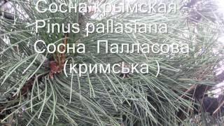 Представители голосеменных растений