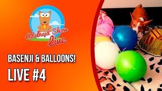 Собака и Воздушные шарики | Basenji & Balloons | Cute Puppy