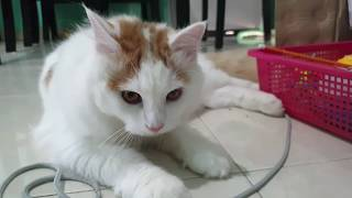 Millo The Turkish Van : First Video