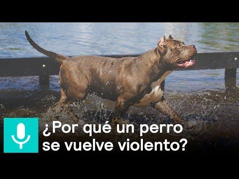¿A qué se deben los ataques de perros Pitbull? - Al Aire con Paola
