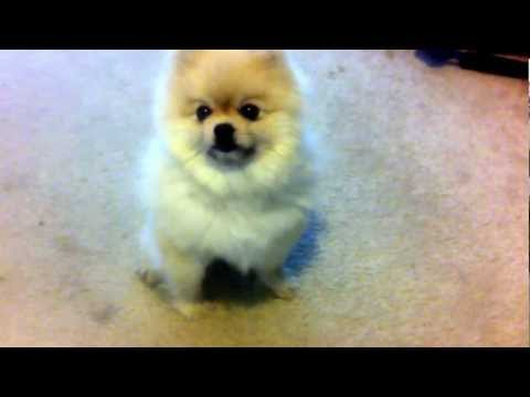 Pomeranian BARK!