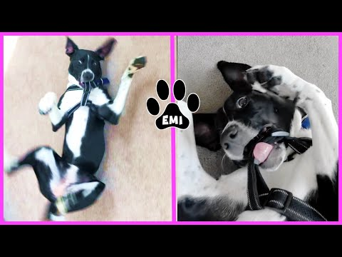 Cute Puppy EMI Fighting her new harness! (ENGLISH POINTER) Funny Dog Videos EMIS WORLD