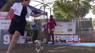 Видео с выставки собак. Китайская хохлатая порода.