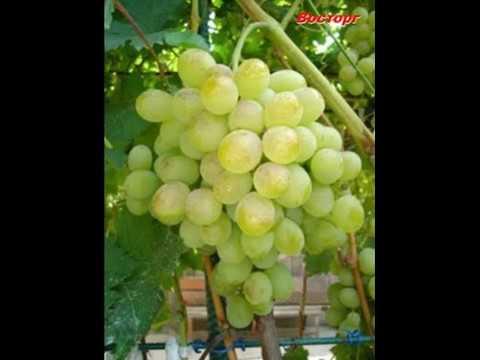 Описание и фото сорта винограда Адлер  и Винограда   Восторг