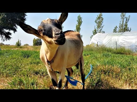 What Do Goats Think of a TOTAL SOLAR ESE?