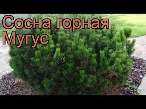 Сосна горная Мугус (pinus mugo mughus) 🌿 горная сосна Мугус обзор: как сажать, саженцы сосны Мугус