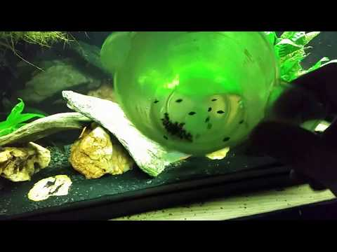 Loaches Will Eliminate Snails In Your Aquarium