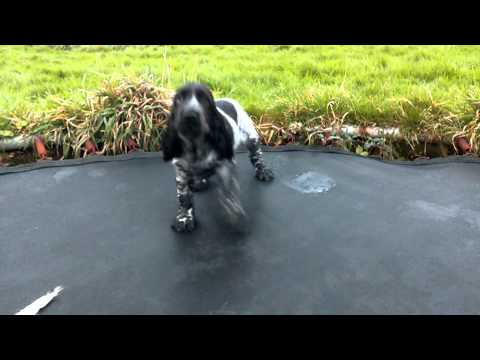 Beautiful Blue Roan And Black And White Cocker Spaniel Puppies For Sale!!